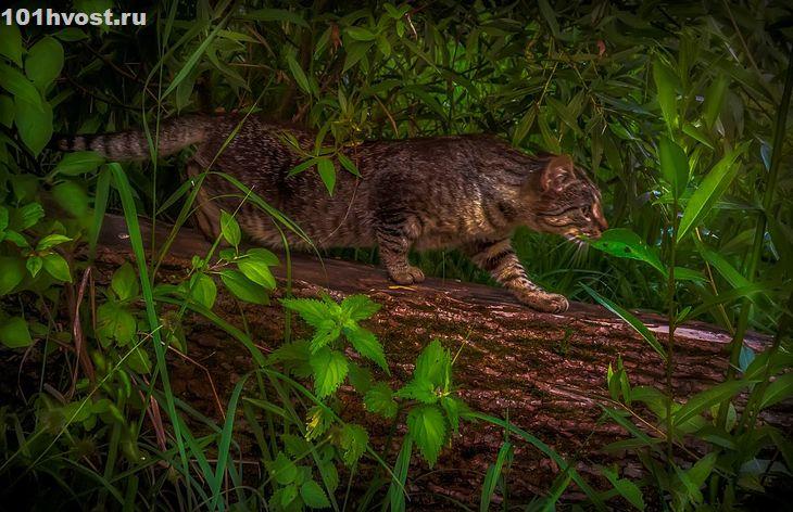 Дикий кот на охоте - Алексей Строганов